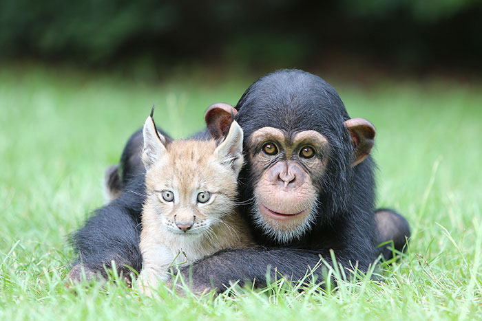 unusual-animal-friendship-chimpanzee-lynx__700