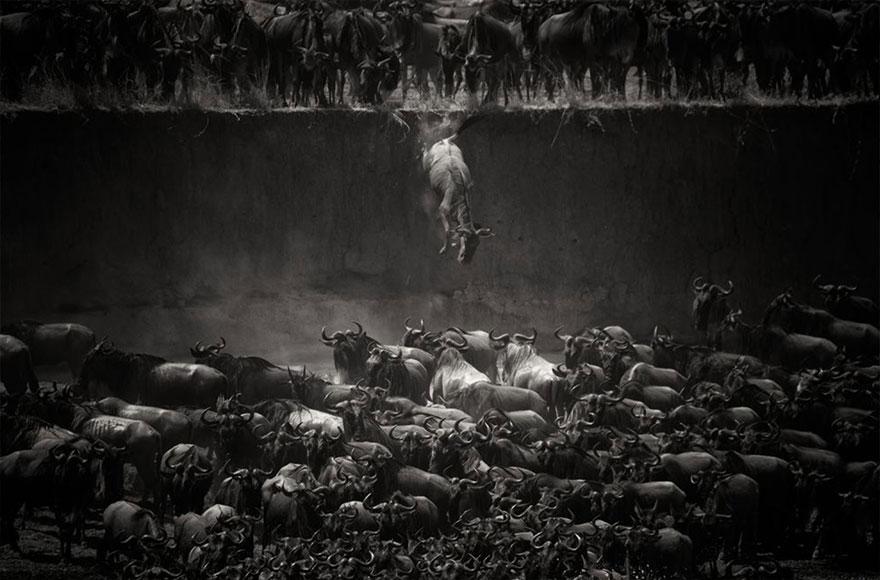 migrujuce-zvierata (9)