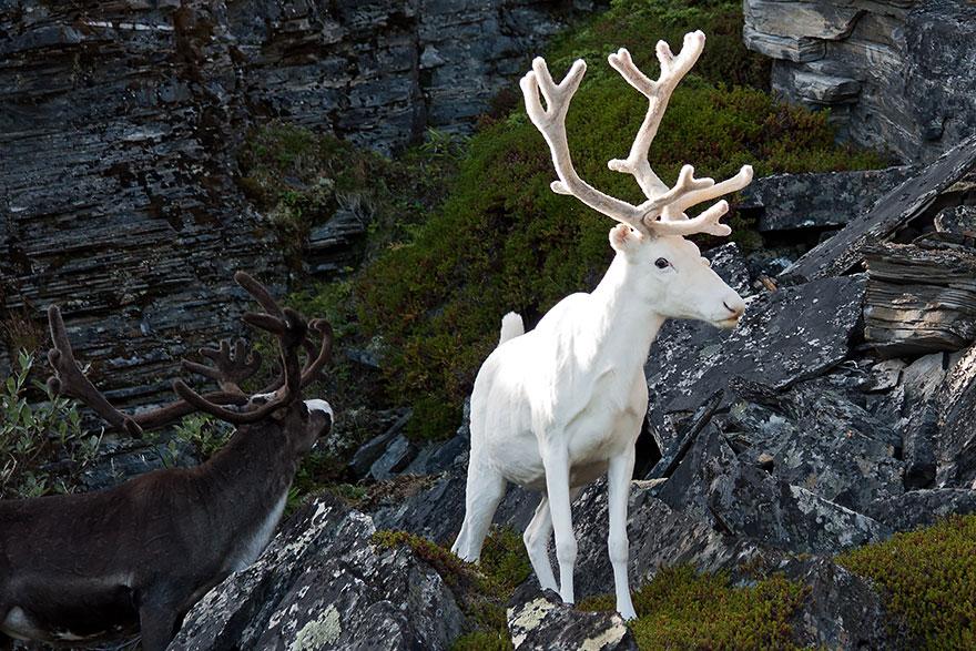 zvierata-albini (1)