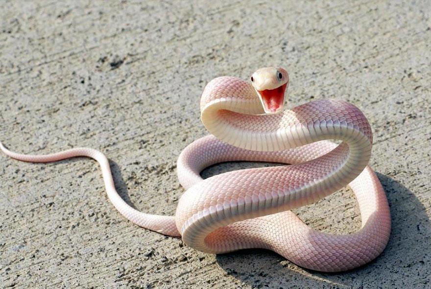 zvierata-albini (10)