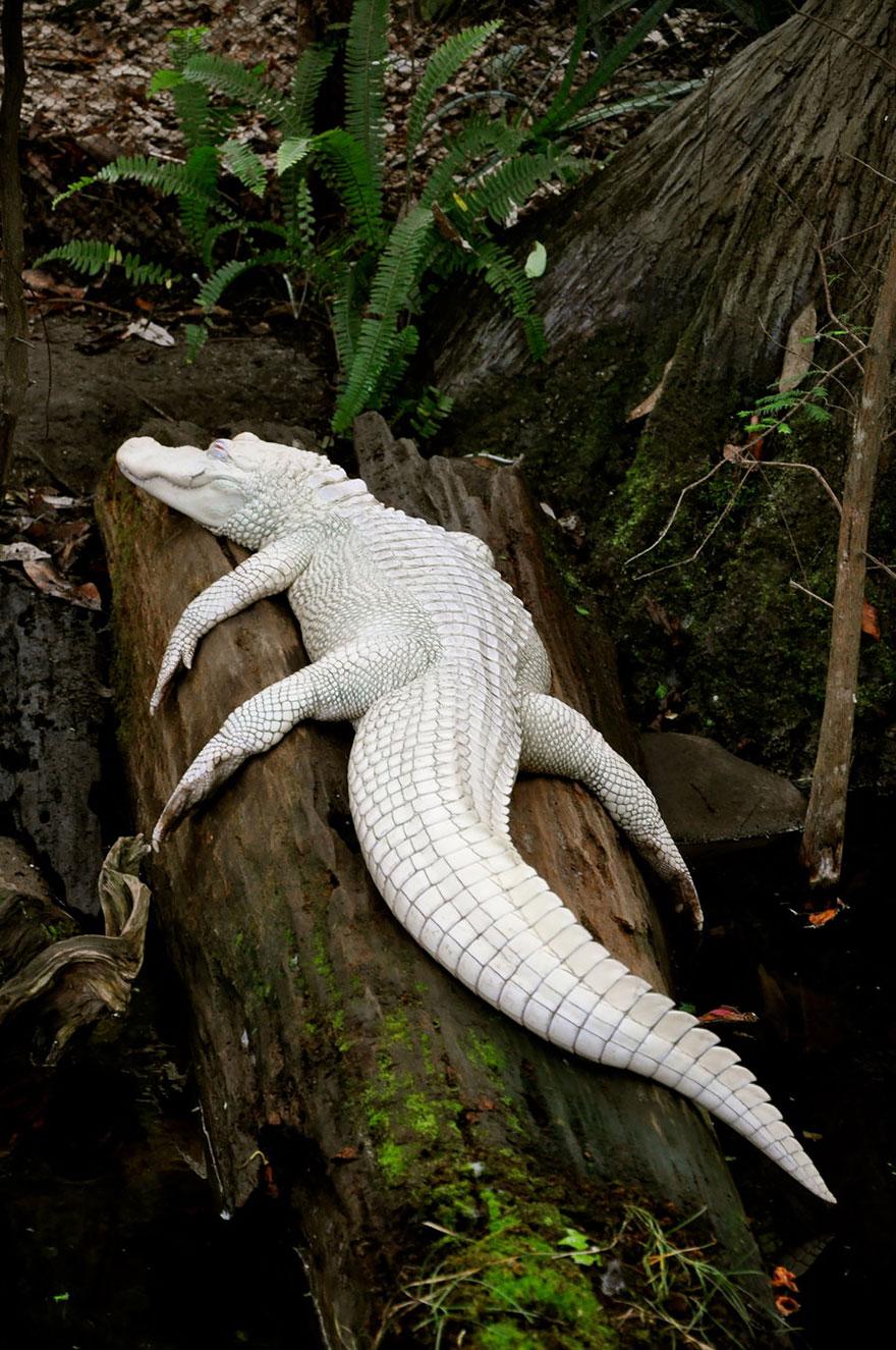 zvierata-albini (2)