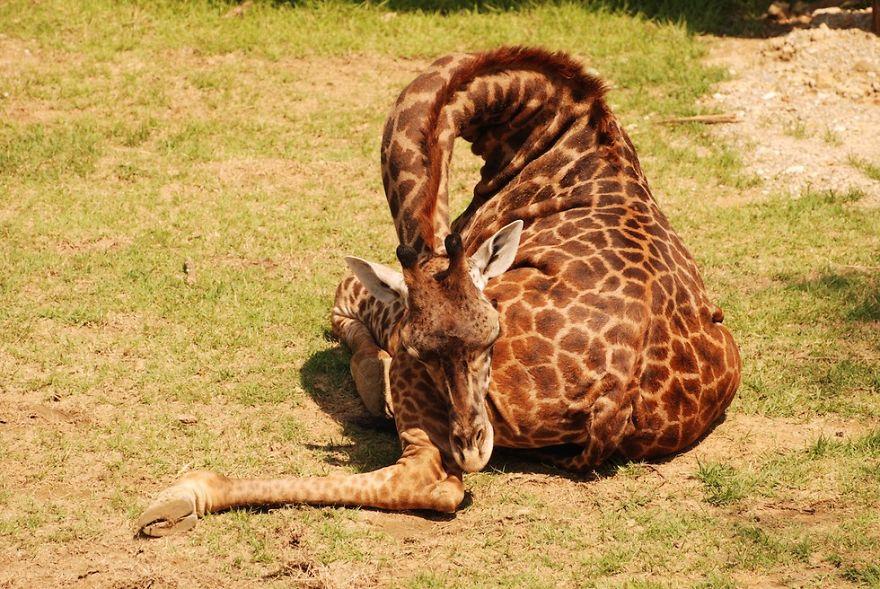 žirafa spí (1)