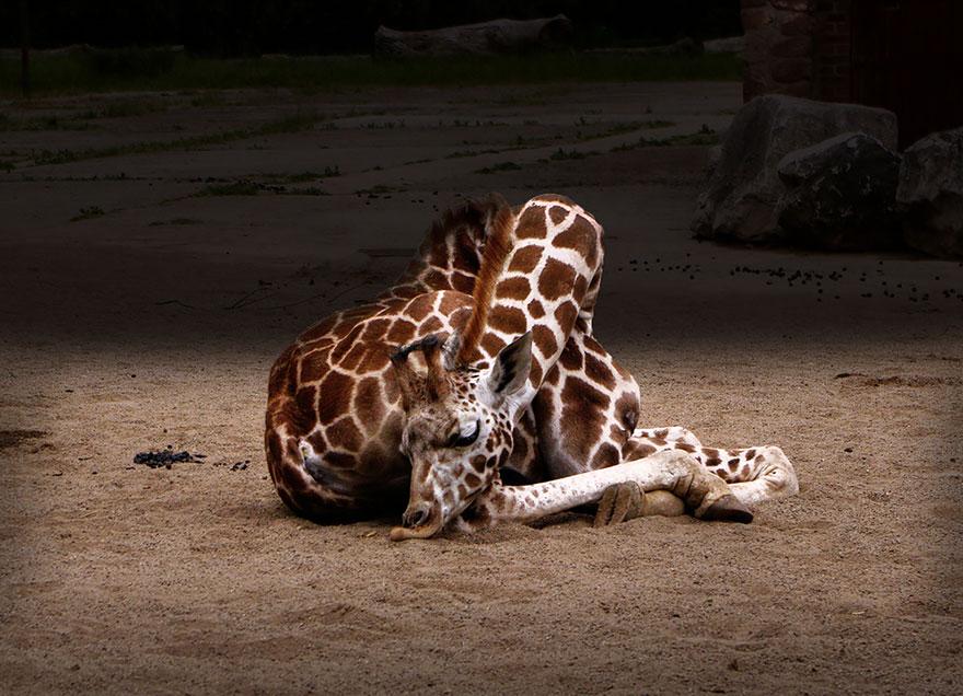 žirafa spí (12)