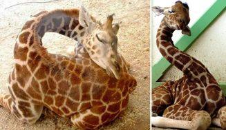 Viete ako žirafa spí?
