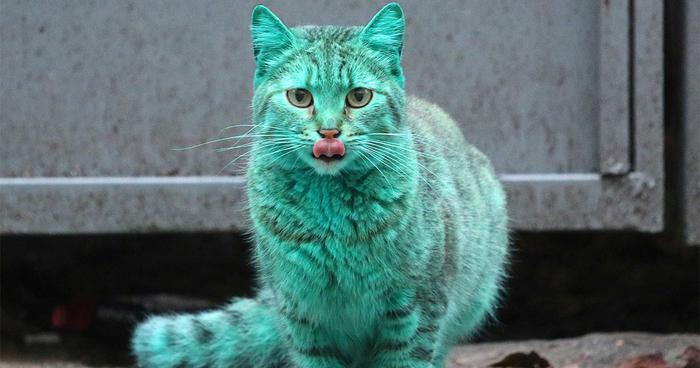 Tyrkysová mačka (5)