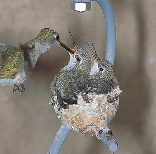vtaky si robia hniezdo (3)