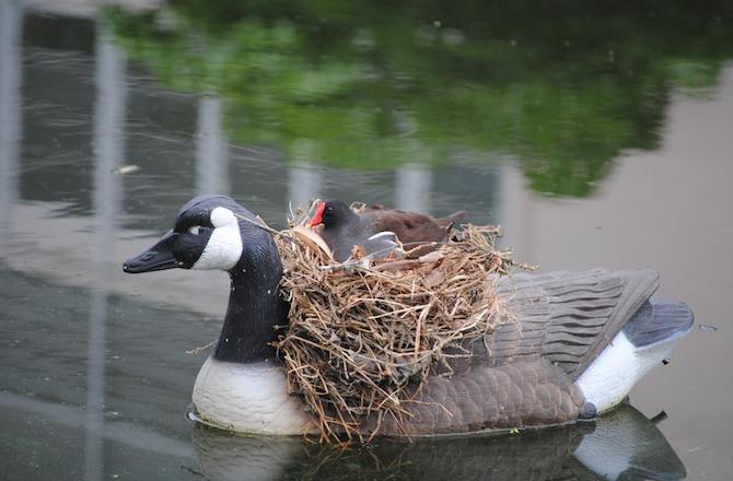 vtaky si robia hniezdo (4)