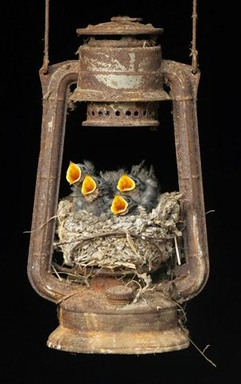 vtaky si robia hniezdo (5)