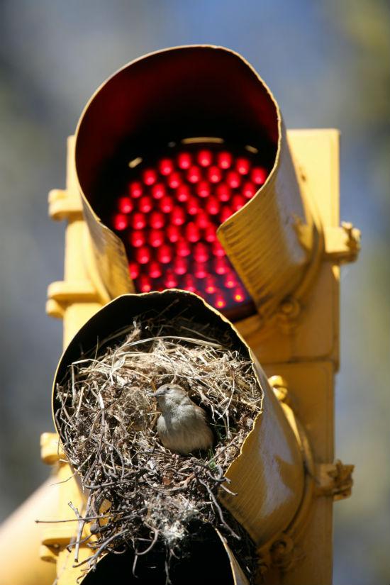 vtaky si robia hniezdo (7)