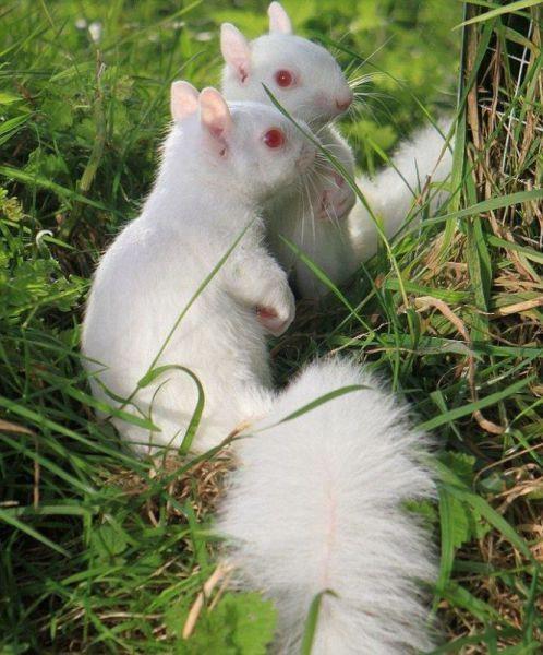 albíni