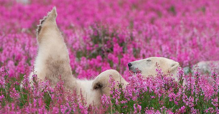 polárne medvede (1)