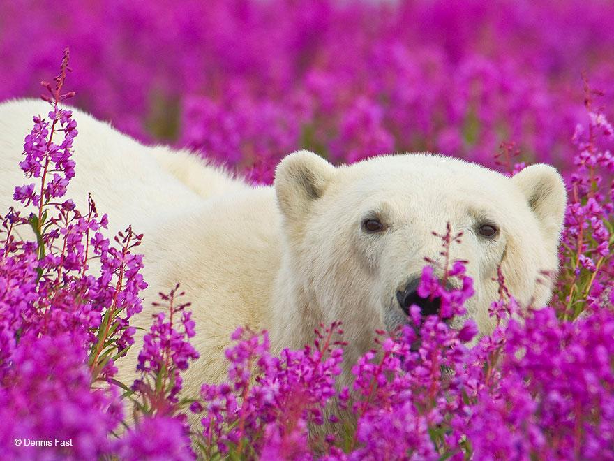 polárne medvede (12)