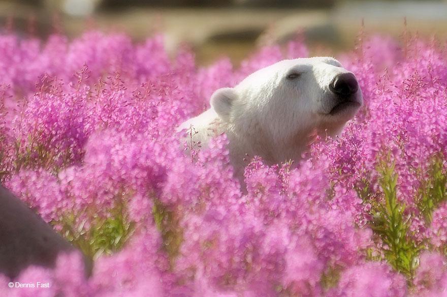 polárne medvede (5)