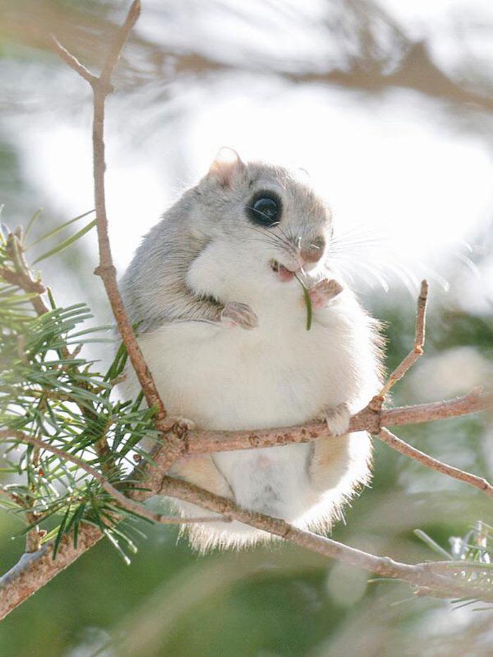 japonske zlate vevericky (1)