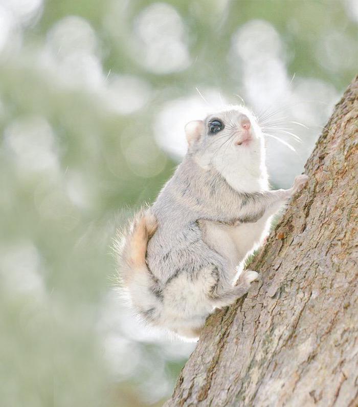 japonske zlate vevericky (10)