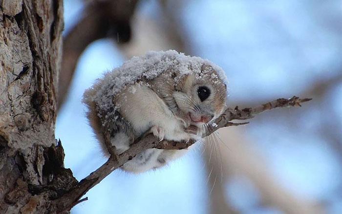 lietajúce veveričky (2)