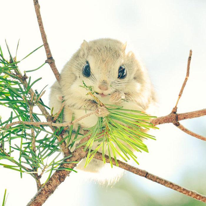 japonske zlate vevericky (8)
