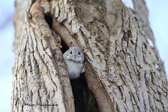 japonske zlate vevericky (9)