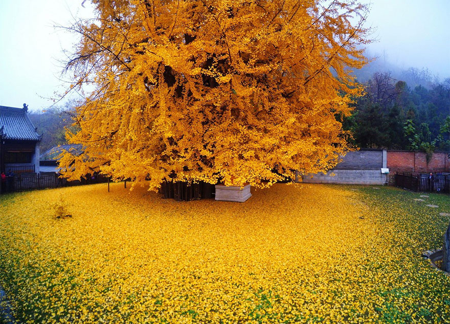 1400 rokov stary strom (1)