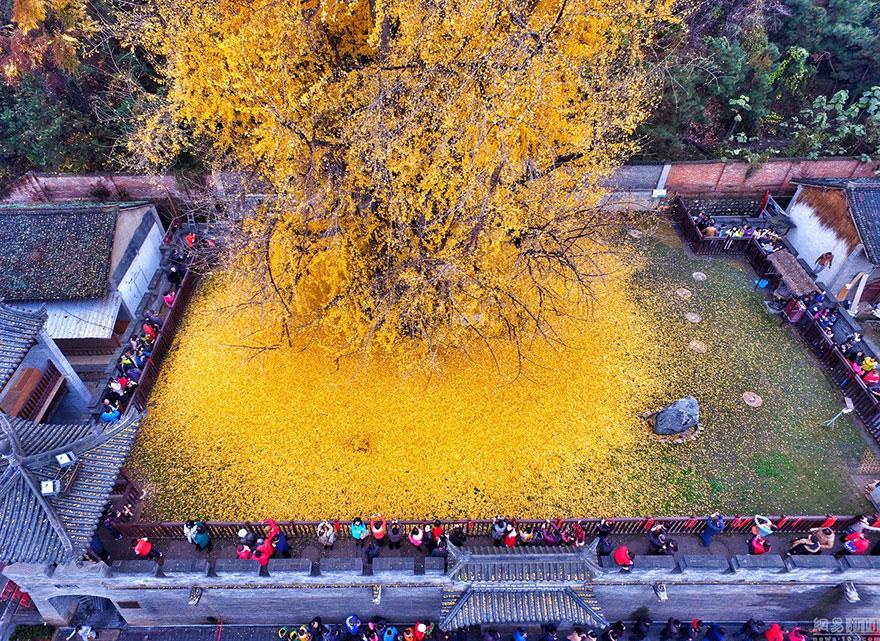 1400 rokov stary strom Gingka (3)