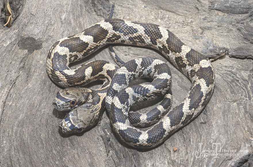 had s dvoma hlavami (3)