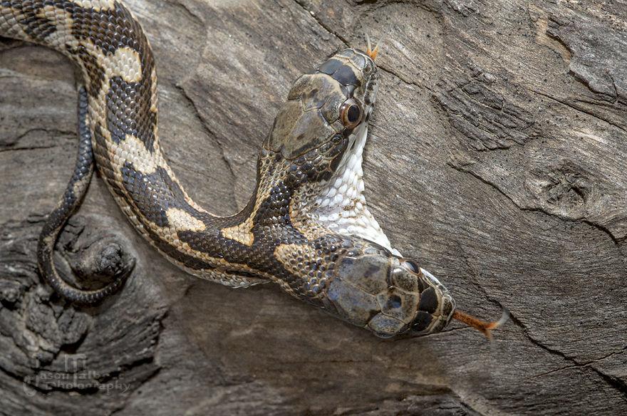 dvojhlavý had (4)