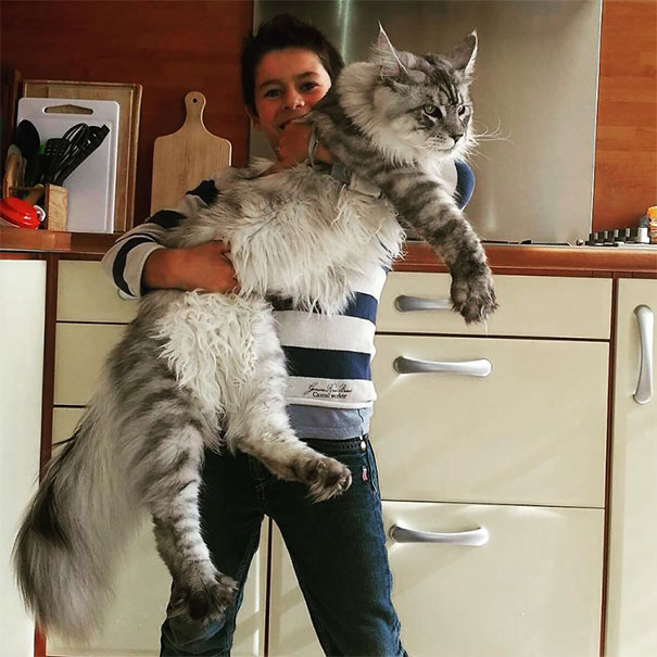 maine-coon-cat (1)