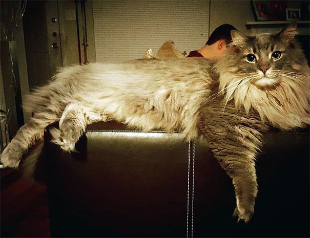 maine-coon-cat (10)