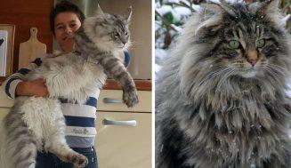 Nórska lesná mačka odloží vaše malé mačičky do vrecka