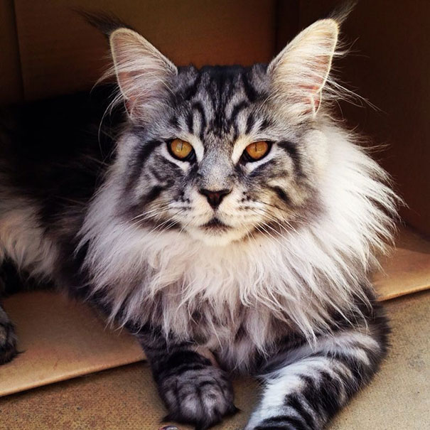 maine-coon-cat (2)