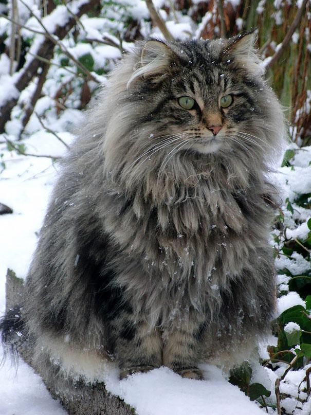 maine-coon-cat (3)