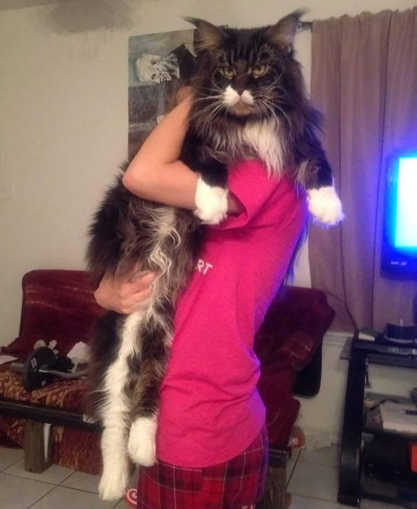 maine-coon-cat (8)