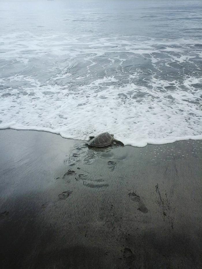korytnačky naspäť do mora (4)