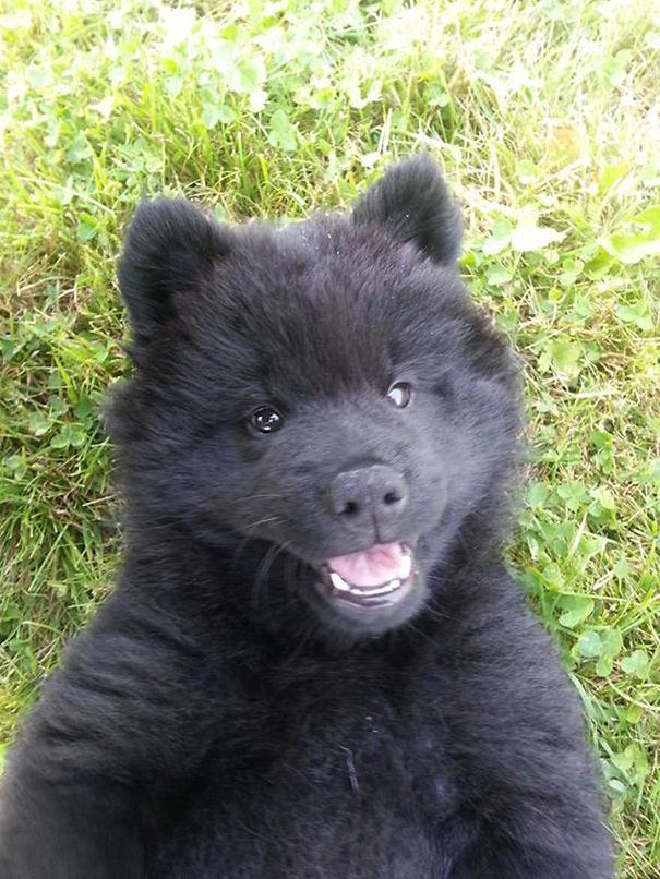 psy medvede (9)