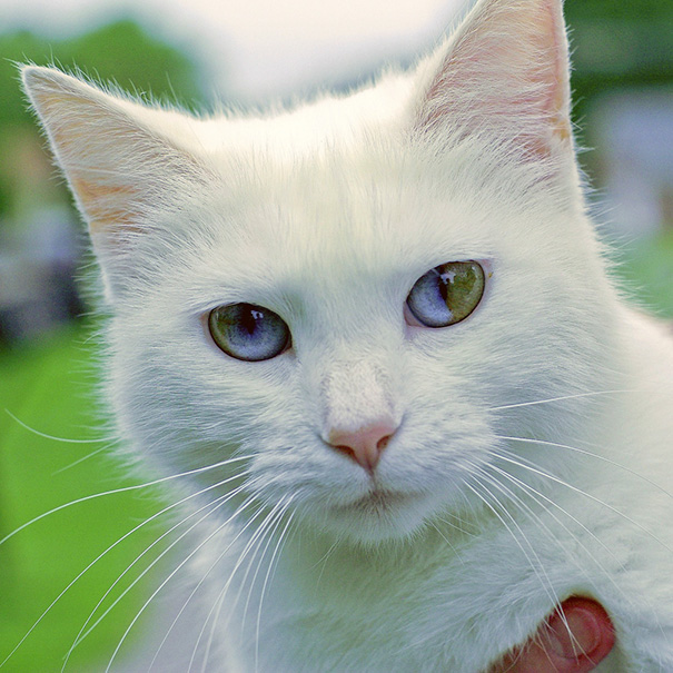 rôznofarebné oči mačky (6)