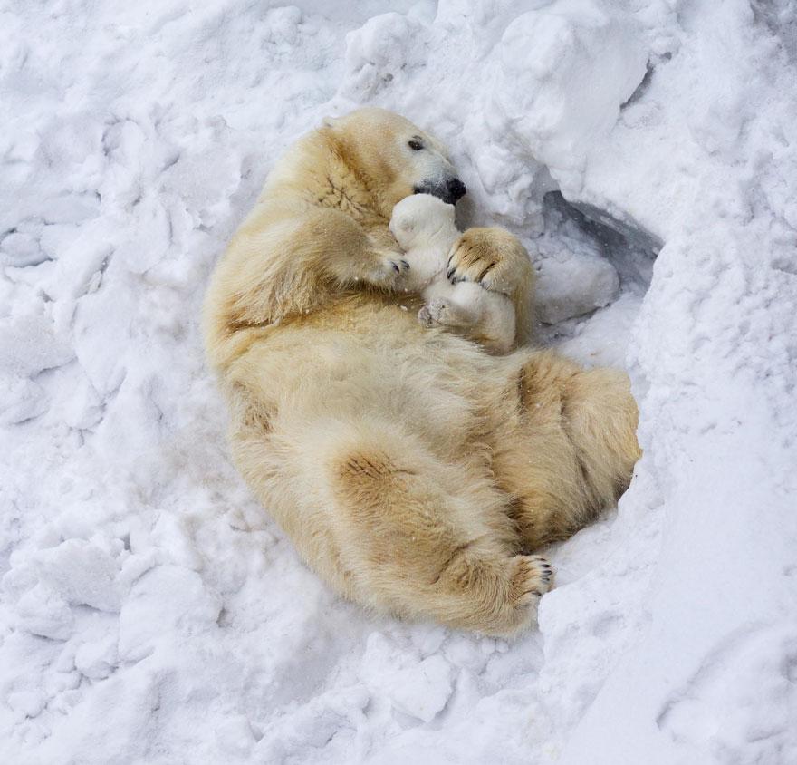polárne medvedíky