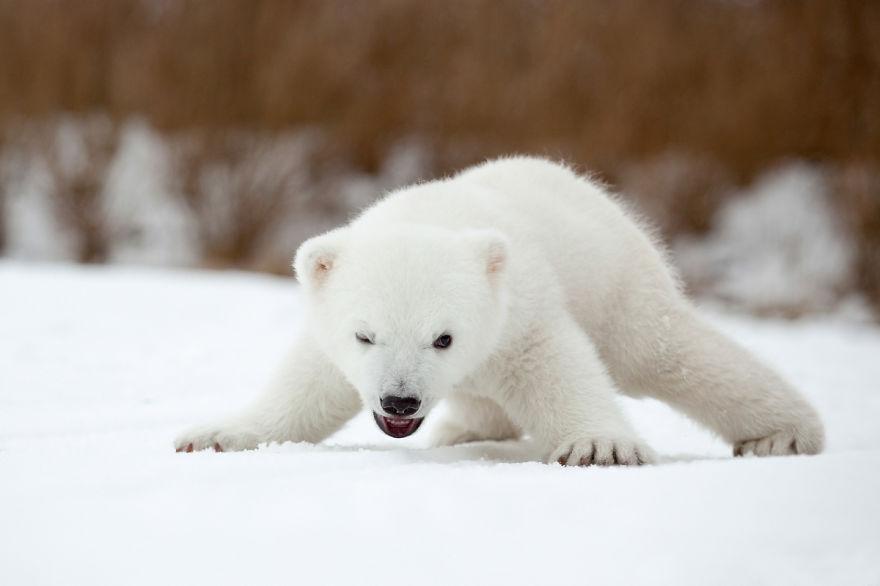 cute-baby-polar-bear-day-photography-51__880