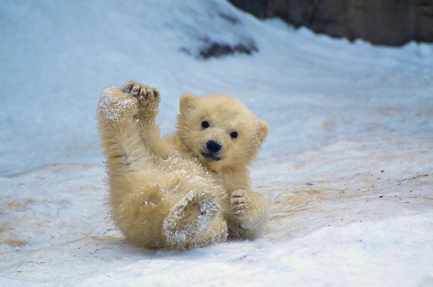 maly polarny medvedik (1)