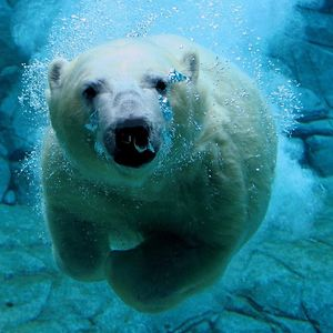 maly polarny medvedik (12)