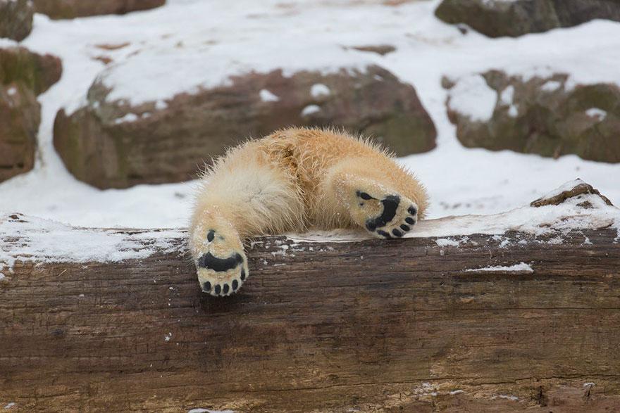 maly polarny medvedik (2)