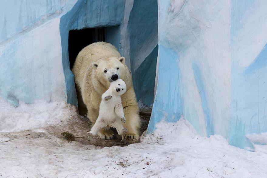 maly polarny medvedik (3)