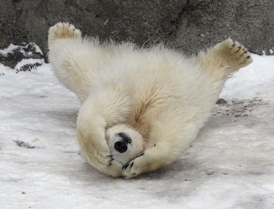 maly polarny medvedik (4)