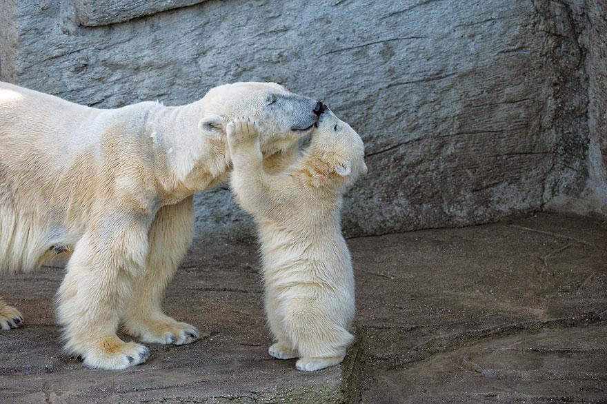 maly polarny medvedik (5)