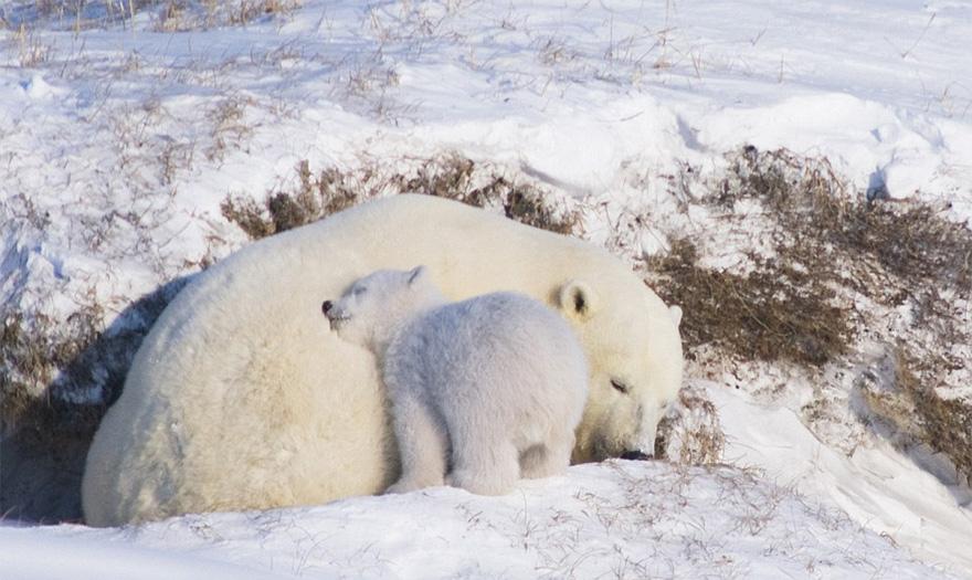 maly polarny medvedik (7)