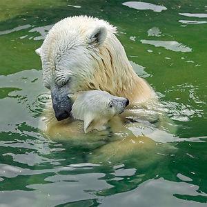 maly polarny medvedik (9)