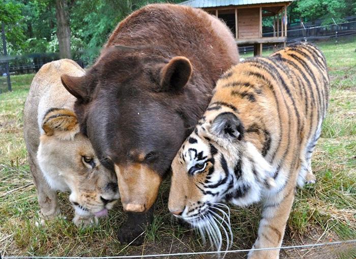lev tiger medved (1)