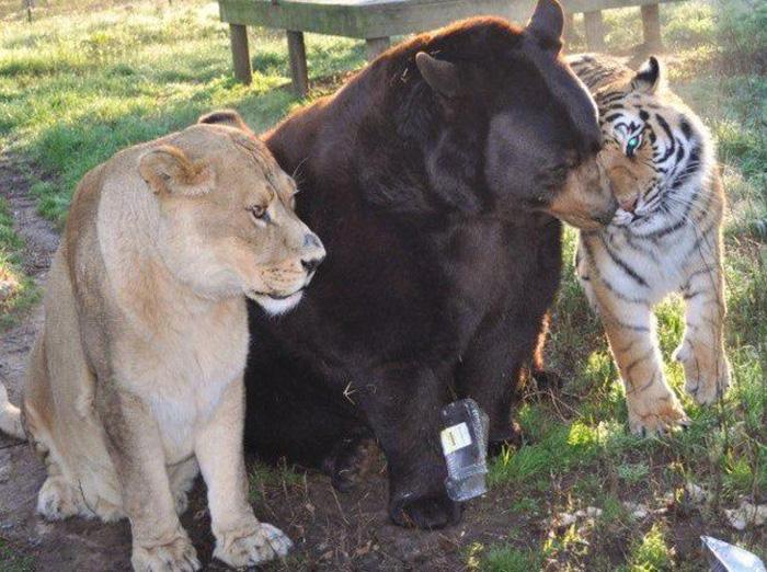 lev, tiger a medveď (10)