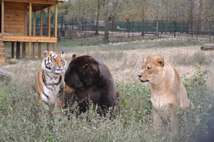lev tiger medved (11)