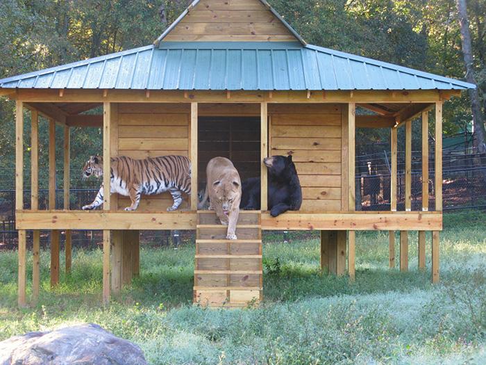 lev tiger medved (2)