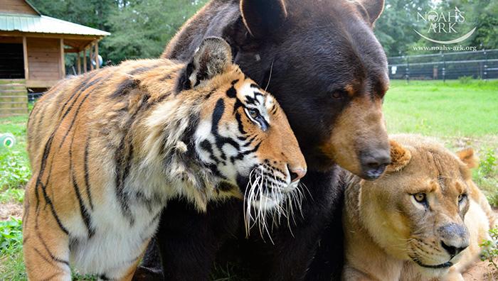 lev, tiger a medveď (3)